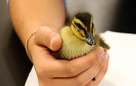 Duck Duck Quail