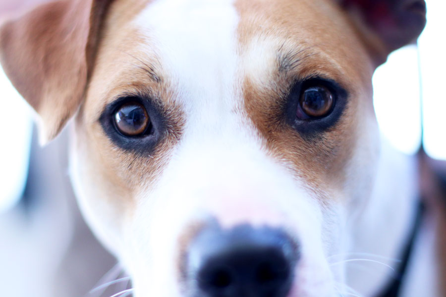 Tiara+stares+into+the+camera.++Both+her+and+Tweety+are+Pitbull+Terriers.+