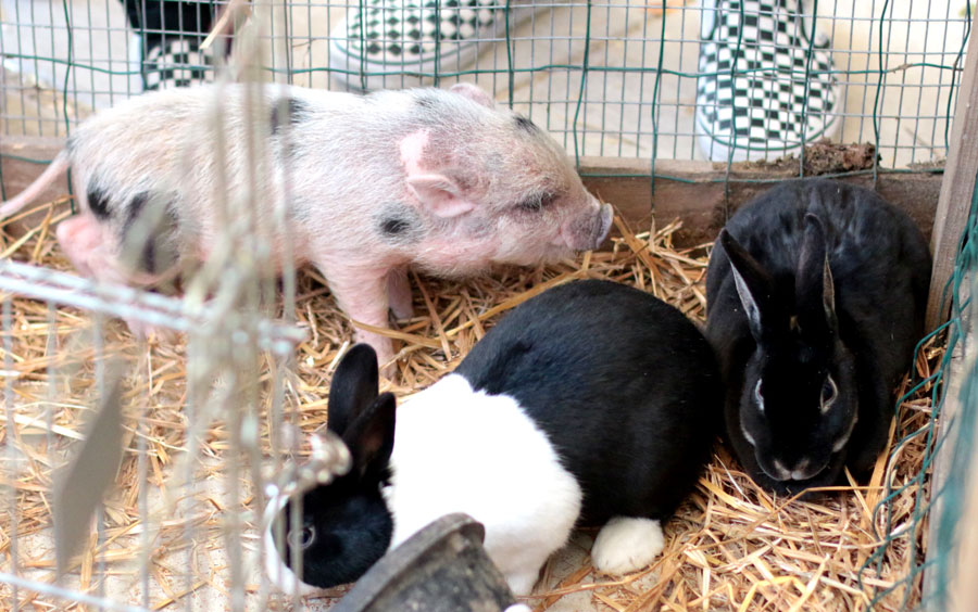 Baby+pigs+and+rabbits+were+kept+in+the+same+pen+with+a+few+ducks.+
