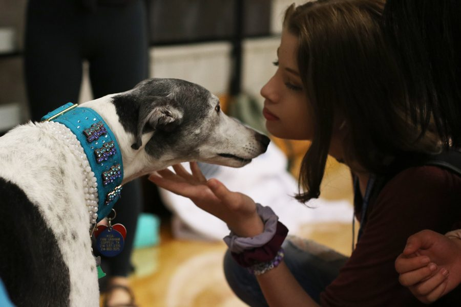 Sophomore+Riley+Brock+pets+a+greyhound%2C+one+of+the+therapy+dogs+at+the+expo+from+Heart+of+Texas+Lab+Rescue.+There+were+two+dogs+at+the+fair.+