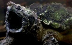An Alligator Snapping Turtle opens its mouth as it swims to the front of the tank. These turtles are currently found only in the US and are experiencing population decline due to overharvesting; they are protected in some states such as Indiana and Kentucky under the law because of potential endangerment.