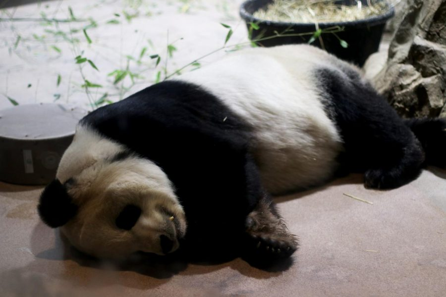 "Tian Tian, the Smithsonian Zoo's only male panda, rests on the ground. Do to worldwide efforts to breed pandas, they are no longer extinct. ""So in the time that I've worked with pandas, which is around 19 years, they've gone from being endangered to being vulnerable, which is two steps up on the ISUN scale,"" keeper Nicole MacCorkle said. ""That also means that we are doing a really good job at protecting the habitats for all the animals. We are increasing animals and ultimately trying to release them back into the wild."""